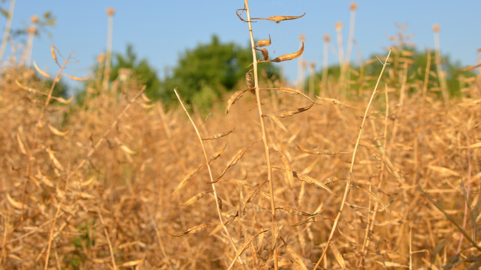 eng: Field of dry mustard on a background of clear blue sky